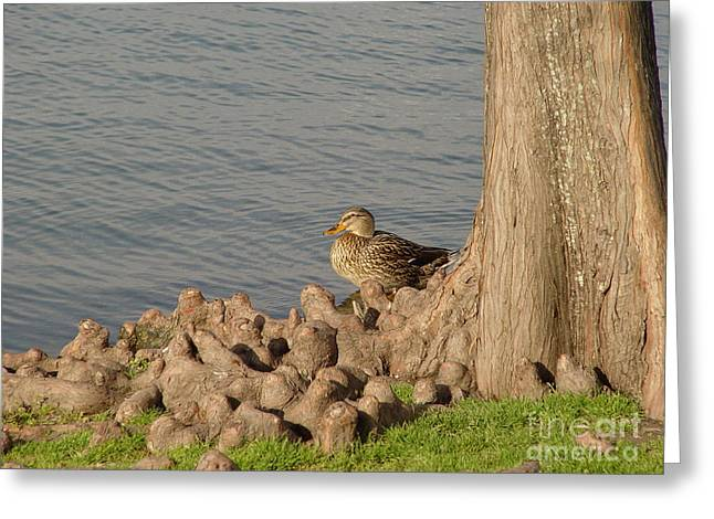 Bethany Lakes Duck Greeting Card by Jerry Bunger
