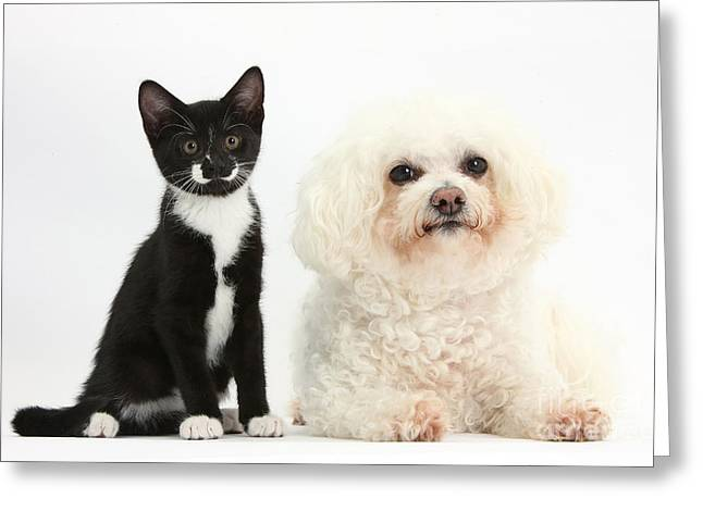 Bichon Frise And Tuxedo Cat Greeting Card