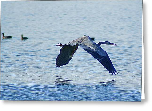 Greeting Card featuring the photograph Big Blue Heron Flying Away From Me by John  Kolenberg