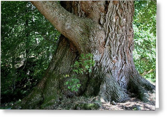 Big Fat Tree Trunk Greeting Card