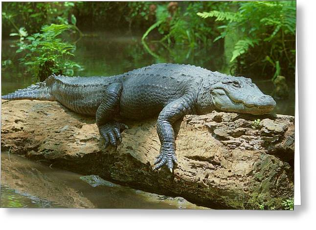Greeting Card featuring the photograph Big Gator On A Log by Myrna Bradshaw