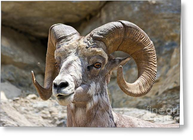 Big Horn Sheep Greeting Card by Scotts Scapes