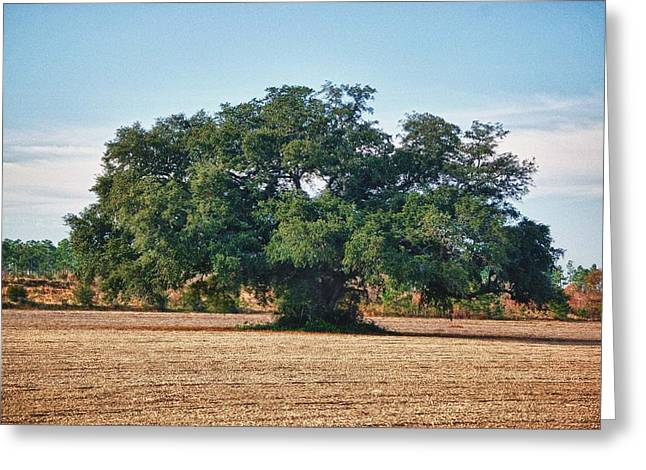 Big Oak In Middle Of Field Greeting Card by Michael Thomas