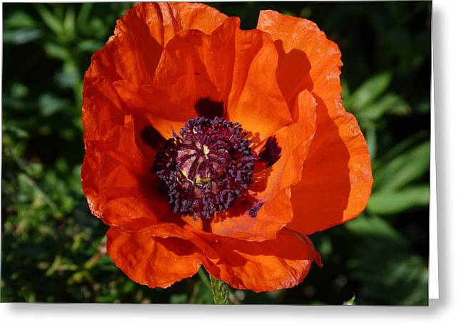 Greeting Card featuring the photograph Big Red Poppy by Lynn Bolt