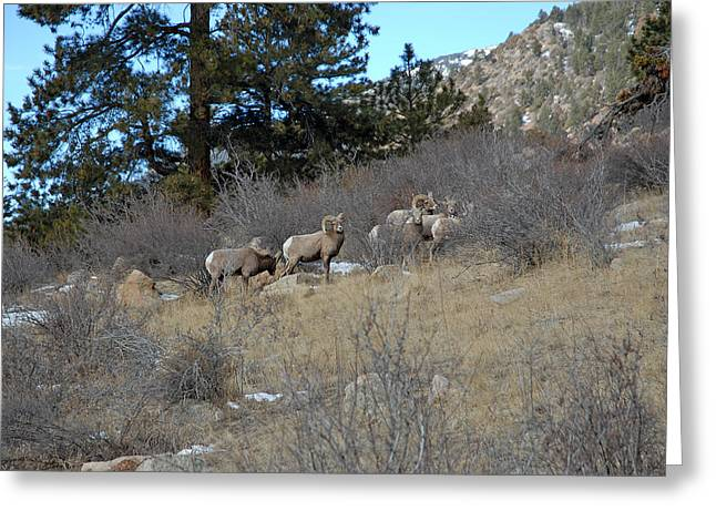 Bighorn Diners Greeting Card by Robert Meyers-Lussier