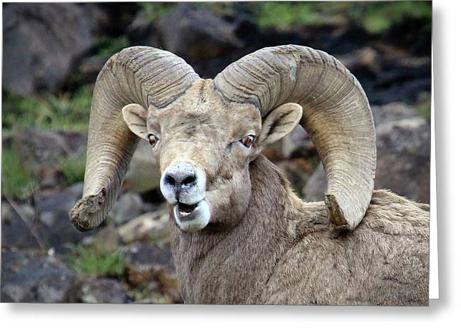 Bighorn Giant Greeting Card by Steve McKinzie