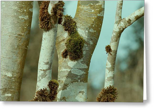 Birch Greeting Card by Bonnie Bruno