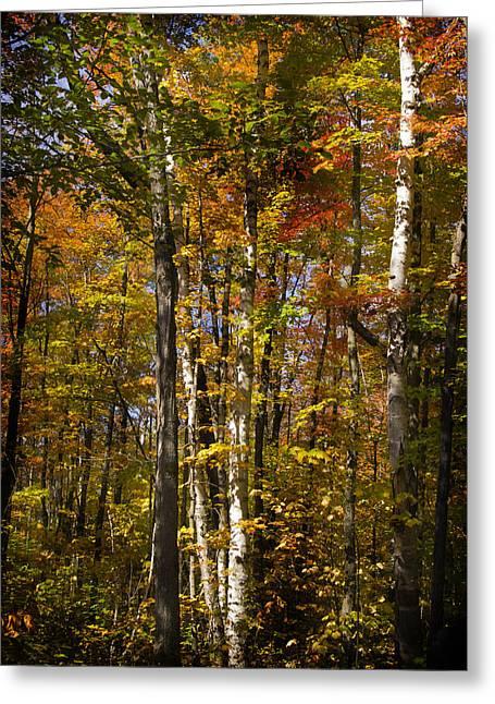 Birch Trail Greeting Card by Jo-Anne Gazo-McKim