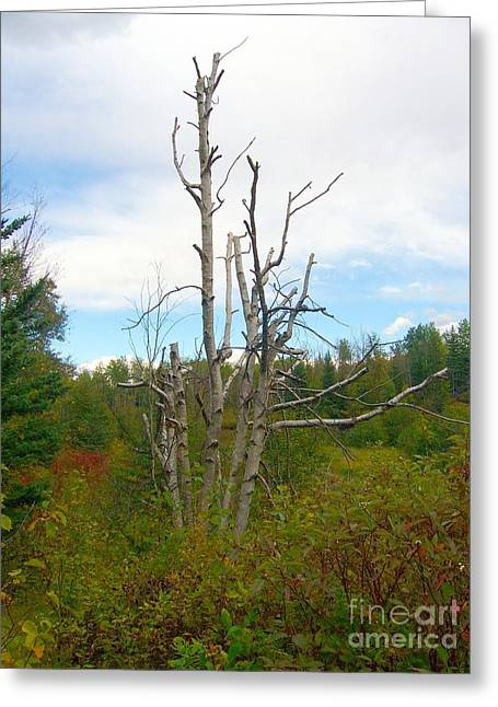 Greeting Card featuring the photograph Birch Tree by Jim Sauchyn
