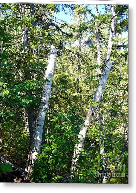 Greeting Card featuring the photograph Birch Trees by Jim Sauchyn