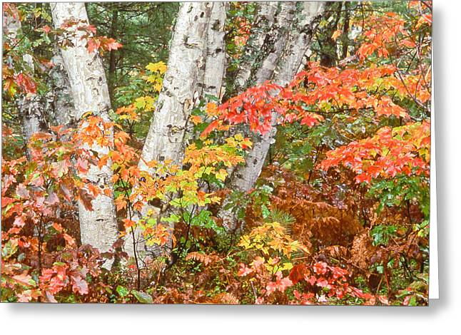 Birches Up Of Michigan Greeting Card