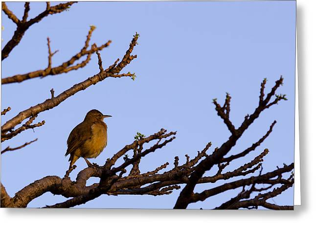 Bird In Dry Tree Greeting Card by Joab Souza