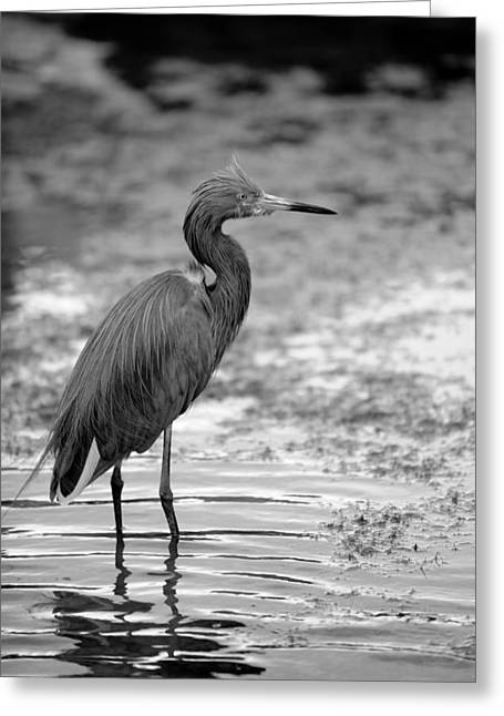 Bird In The Shallows Greeting Card by Brandon McNabb