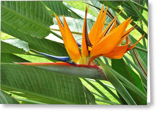 Greeting Card featuring the photograph Bird Of Paradise by Craig Wood