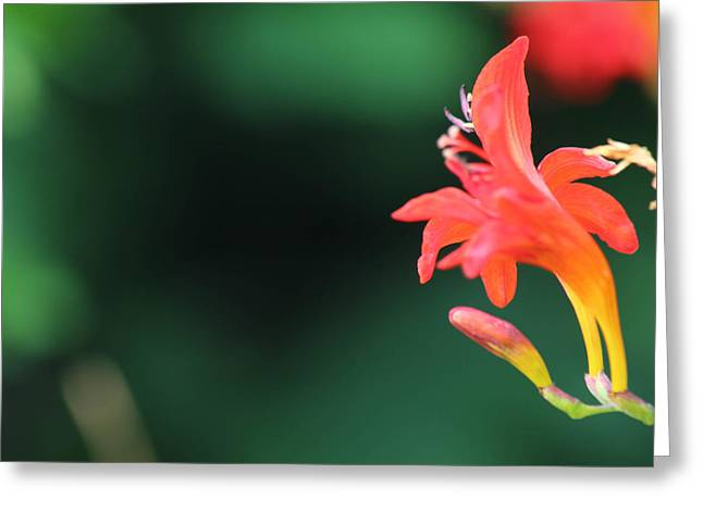 Bird Of Paradise Greeting Card by Janet Mcconnell
