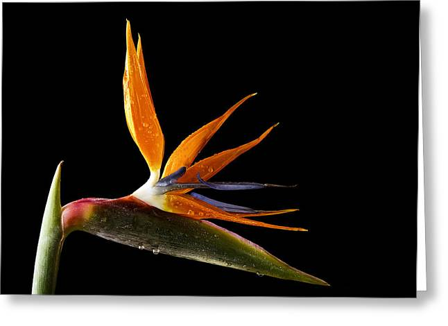 Bird Of Paradise Greeting Card by Fiona Messenger