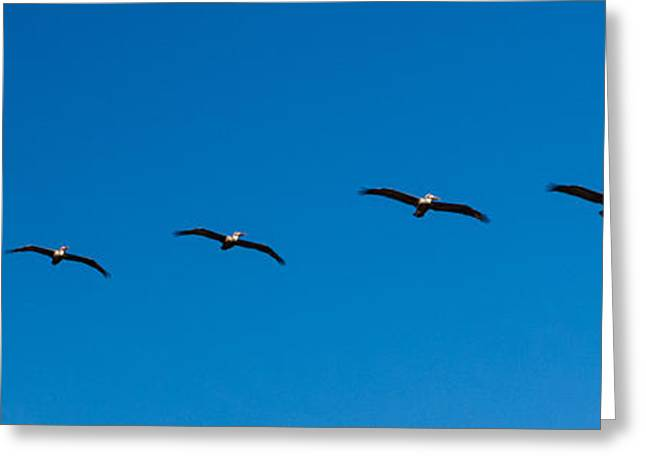 Birdrock Pelicans In Formation Greeting Card