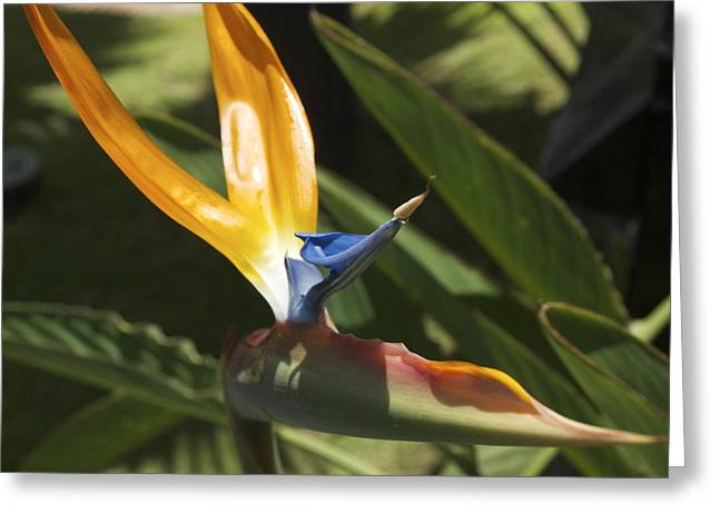 Birds In Paradise Greeting Card by Larry Toth