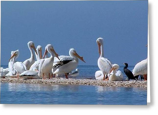 Birds Pelicans Of Cedar Key Greeting Card