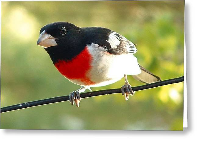 Birds Rose Breasted Grosbeak Greeting Card