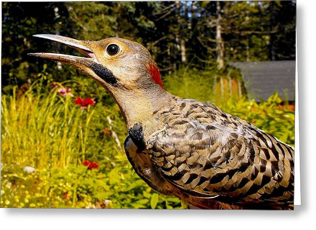 Birds Young Flicker Greeting Card