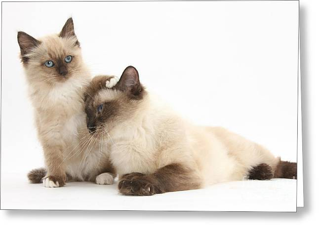 Birman-cross Cat And Kitten Greeting Card by Mark Taylor