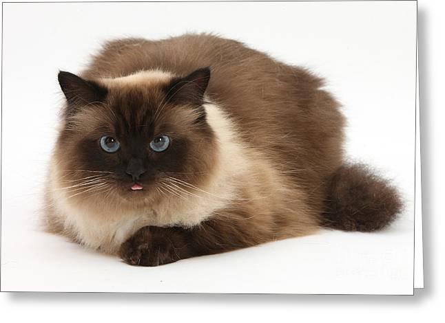 Birman-cross Cat Greeting Card by Mark Taylor