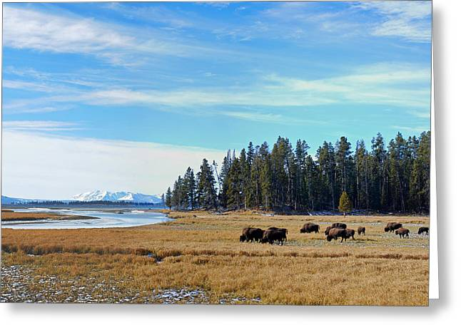 Bison Along Yellowstone River Greeting Card by Twenty Two North Photography