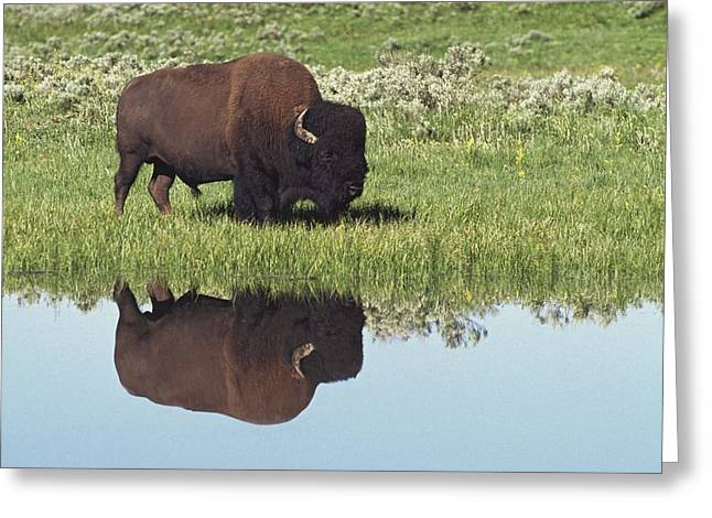 Bison Bison Bison On Grassy Meadow With Greeting Card by David Ponton
