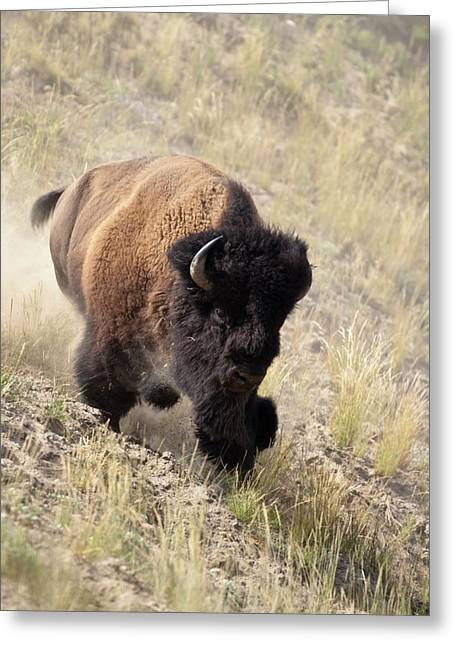 Bison Bull Greeting Card by D Robert Franz