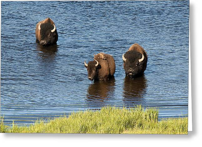 Bison Enjoying The Water Greeting Card by Paul Cannon