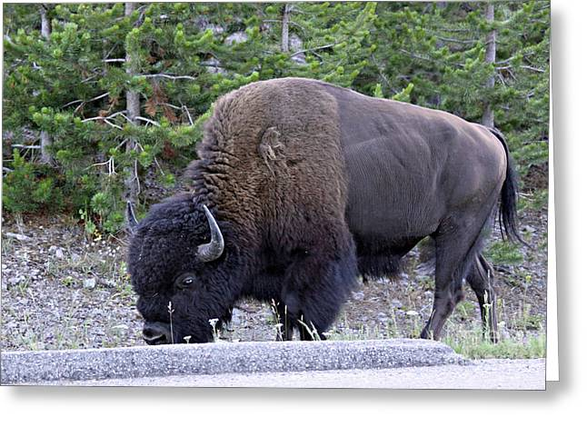 Bison Grazing Greeting Card