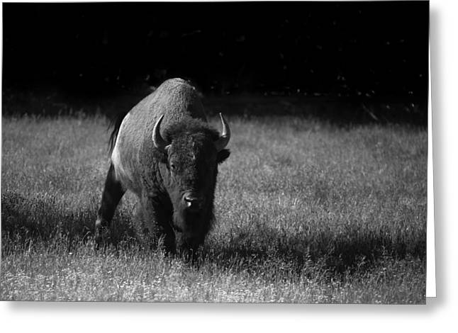 Bison Greeting Card by Ralf Kaiser