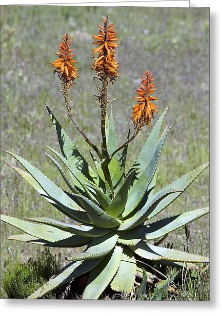 Bitter Aloe (aloe Ferox) Greeting Card by Bob Gibbons