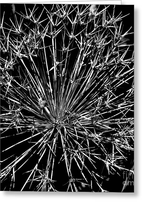 Black And White Allium  2 Greeting Card by Tanya  Searcy