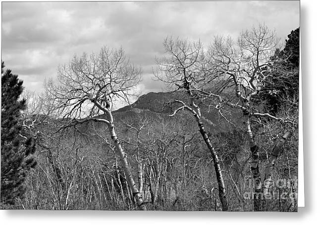 Black And White Aspen Greeting Card