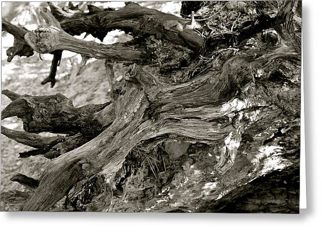 Black And White Kentucky Tree Stump Greeting Card