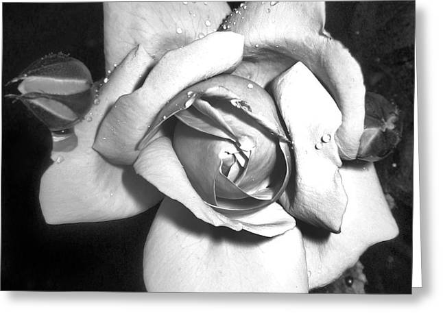 Black And White Rose Greeting Card by Tina Ann Byers