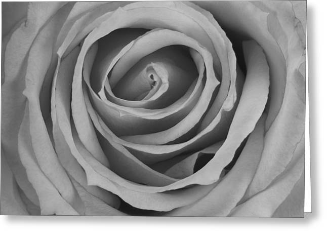 Black And White Spiral Rose Petals Greeting Card by James BO  Insogna