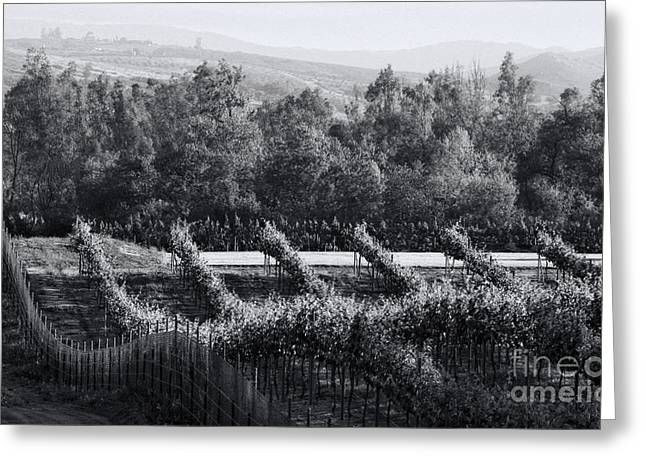 Black And White Vineyard Sunrise  Greeting Card