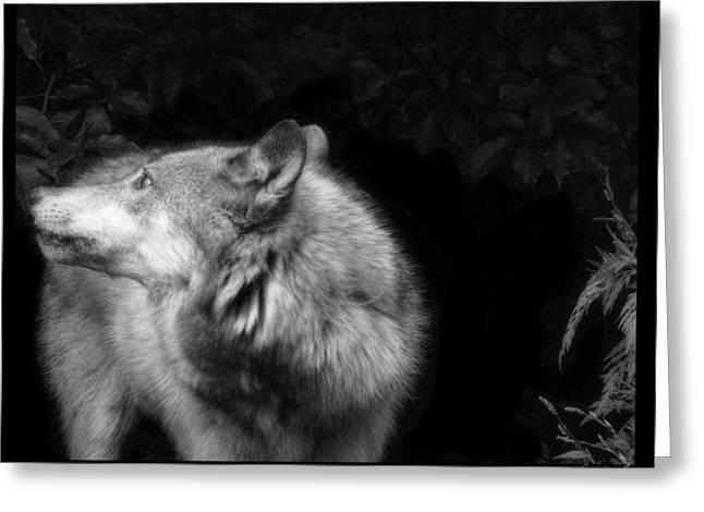 Black And White Wolf Greeting Card by Debra     Vatalaro