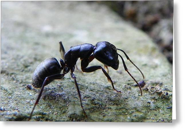 Black Ant 2 Greeting Card by Chad and Stacey Hall