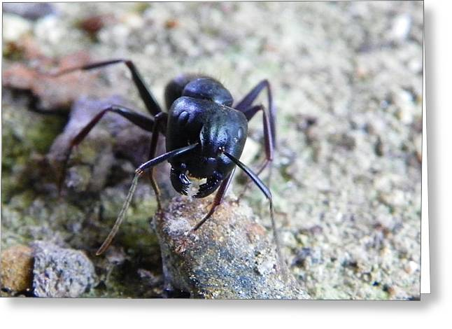 Greeting Card featuring the photograph Black Ant by Chad and Stacey Hall