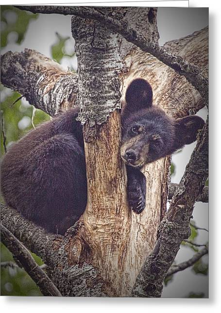Black Bear Cub No 3224 Greeting Card by Randall Nyhof