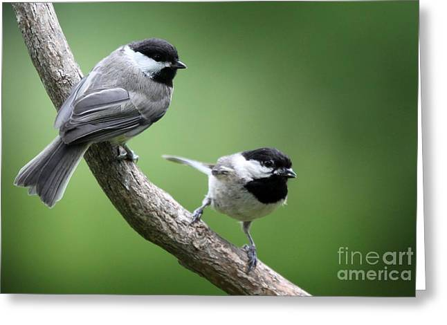 Greeting Card featuring the photograph Black-capped Chickadees by Jack R Brock