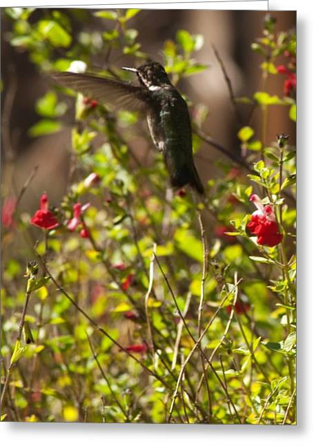 Greeting Card featuring the photograph Black-chinned Hummingbird by Daniel Hebard