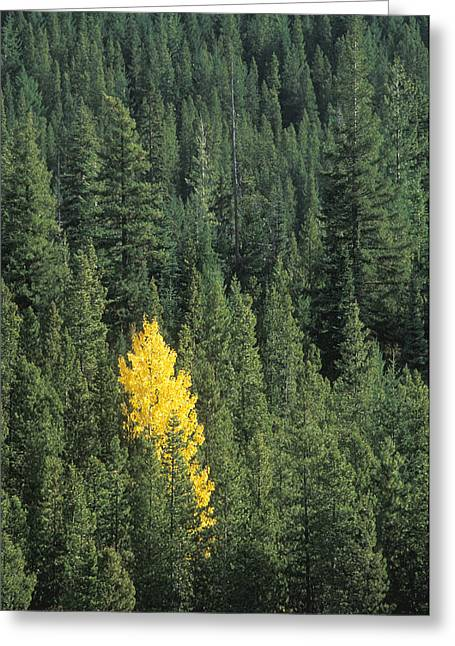 Black Cottonwood Tree In Evergreen Forest Greeting Card
