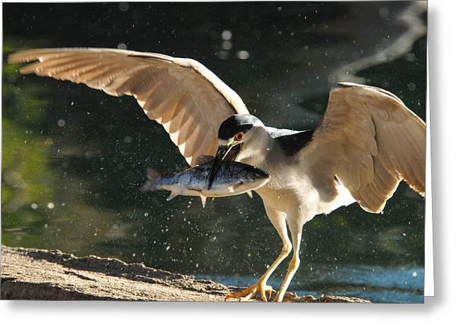 Black-crowned Night Heron Greeting Card by Dung Ma