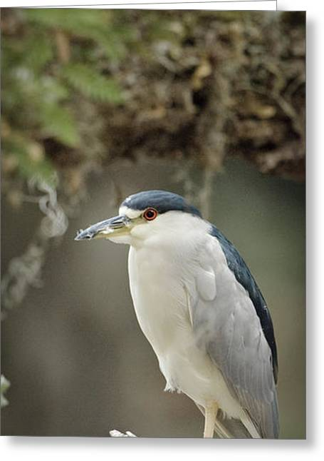 Black Crowned Night Heron  Greeting Card by Patrick M Lynch
