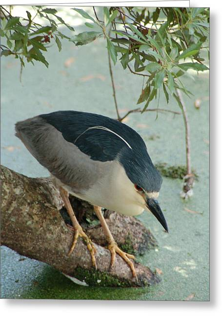 Black Crowned Night Heron Greeting Card by Peg Toliver